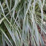 Eulalia Grass 'Variegatus'
