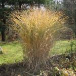 Eulalia Grass 'Morning Light' Fall