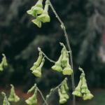 Flowering Tobacco Langsdorfil