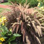 Annual Fountain Grass 'Rubrum'