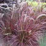 Annual Fountain Grass 'Fireworks'