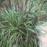 Fountain Grass 'Moudri Black'